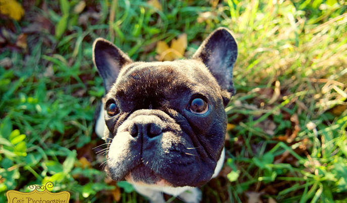 Edgar French Bulldog Puppies for Sale